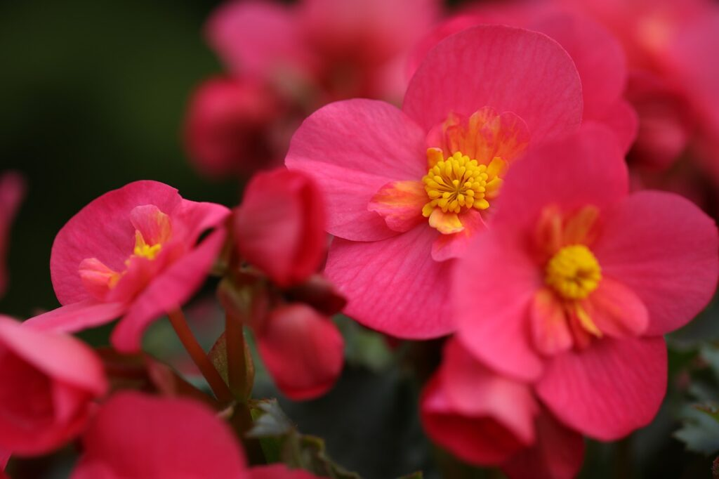 begonia plants that absorb humidity