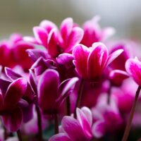 cyclamen plants that absorb humidity