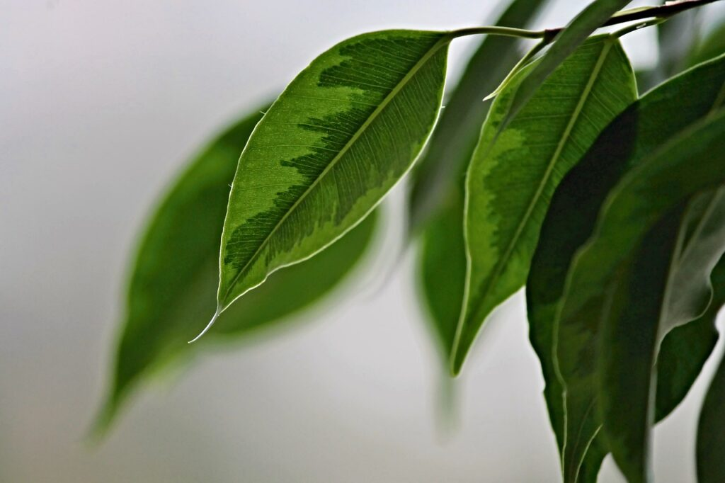 plants that absorb humidity weeping fig