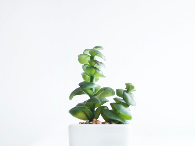 lucky plants for business jade plant