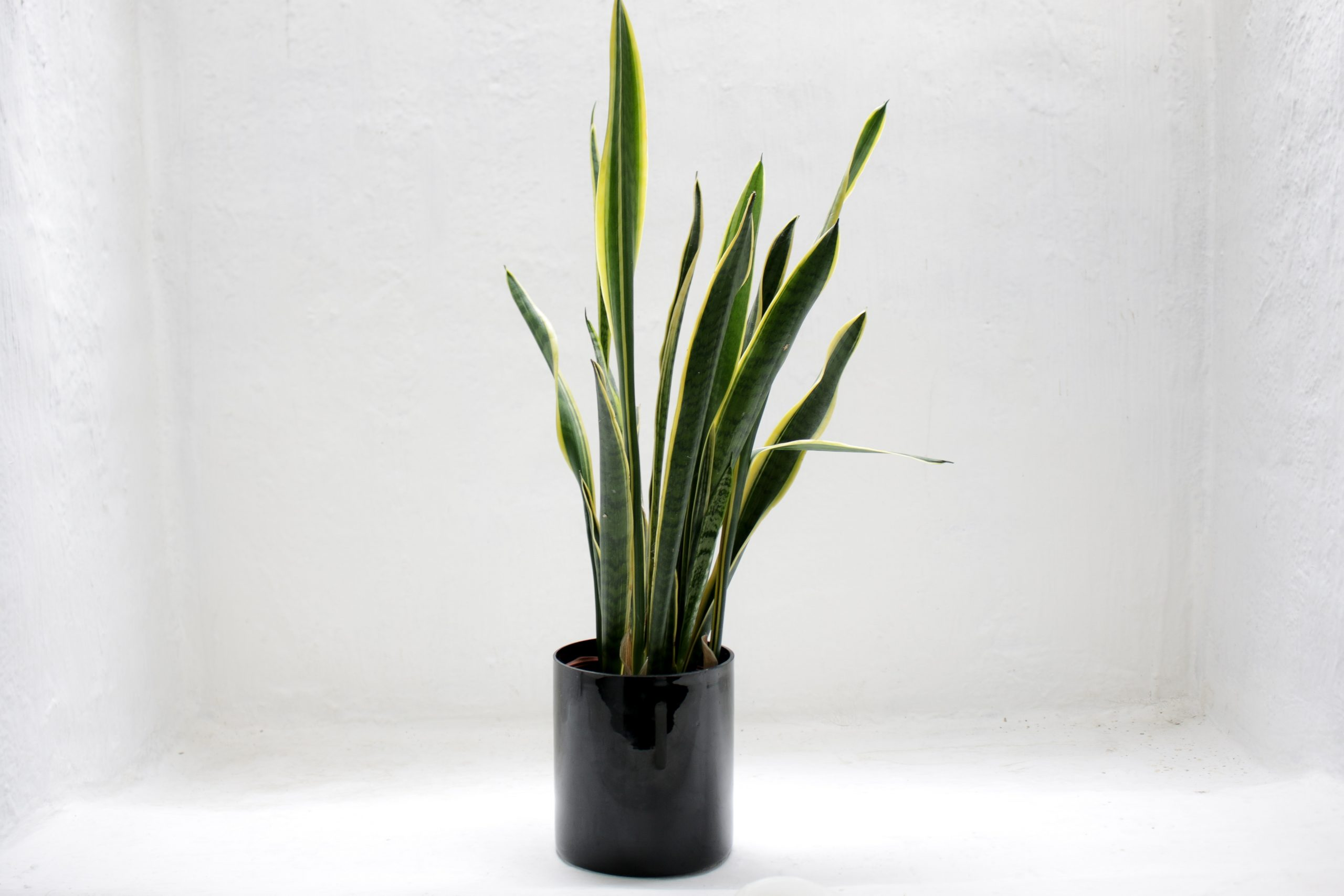 best plants bathroom no window snake plant