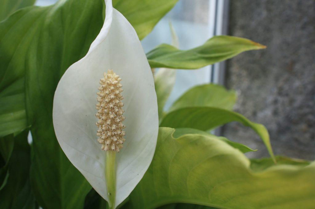 peace lily plants for bathroom no window