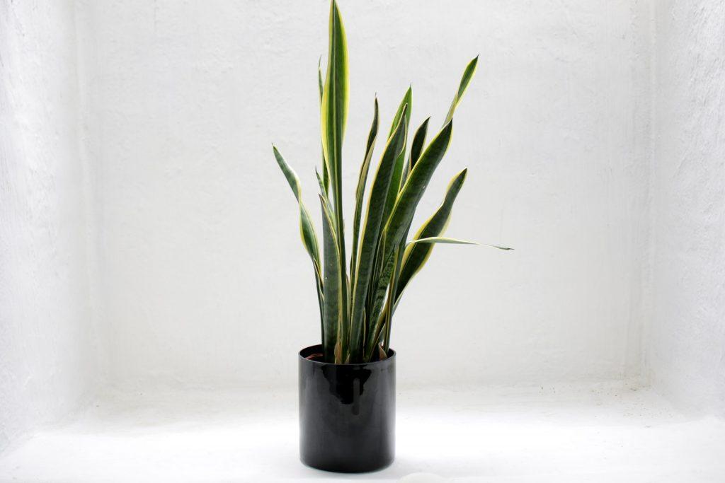 overwatered snake plant