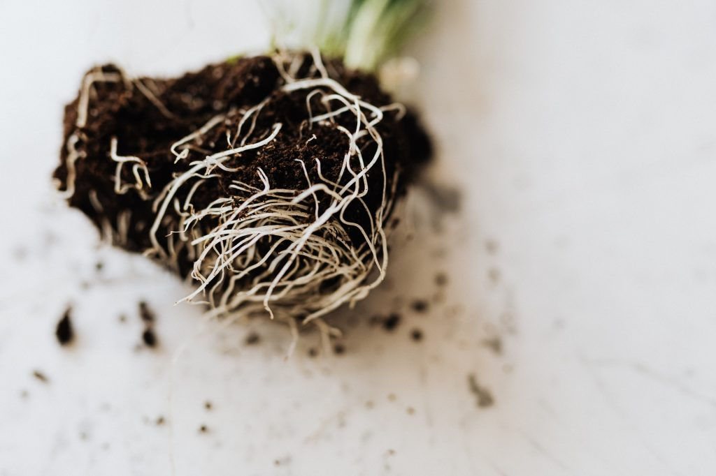 overwatered peace lily plant root and soil