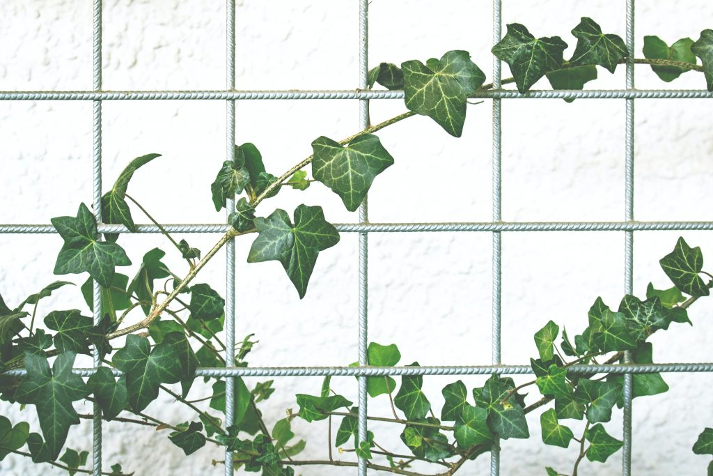 devils ivy plants for bathroom no window
