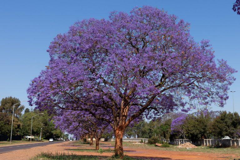 jacaranda tree trees to avoid planting in australia